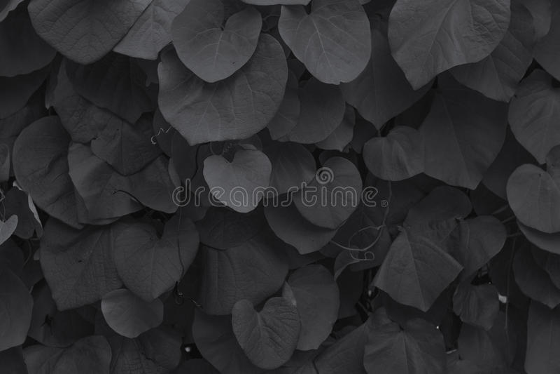 Le foglie della bardana fotografie stock