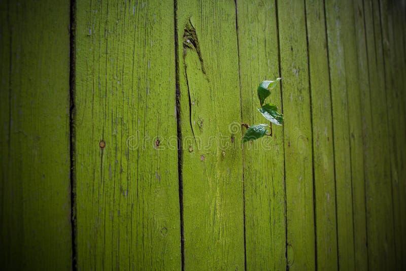 Le foglie della cobite si sviluppano tramite un recinto di legno grezzo fotografie stock
