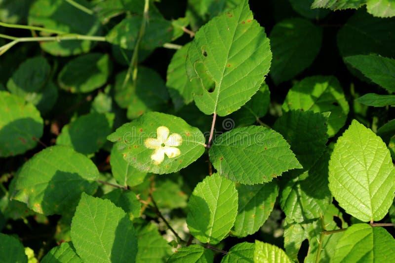 Le foglie della mora con una stampa di un fiore su loro immagini stock