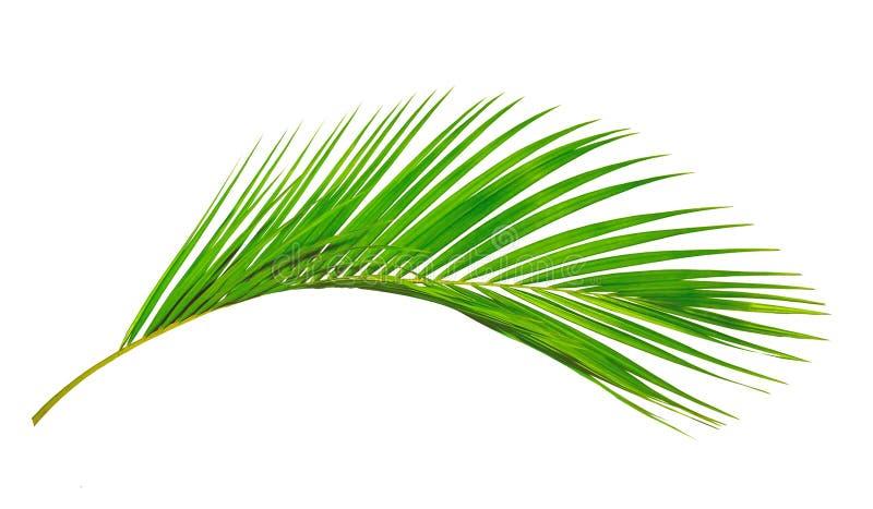 Le foglie della noce di cocco o le fronde della noce di cocco, plam verde va, immagine stock libera da diritti