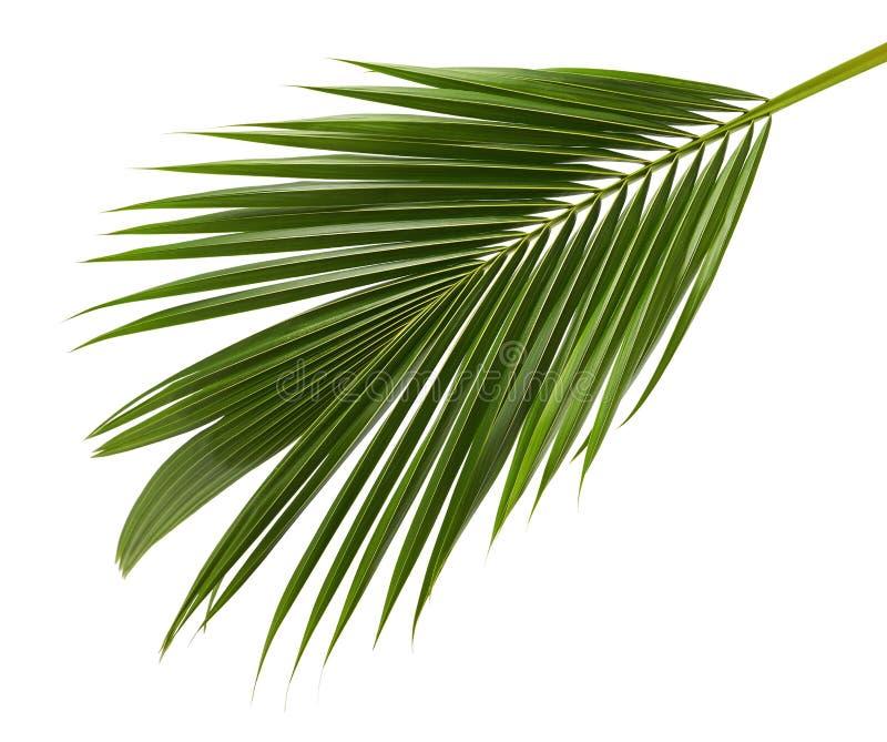 Le foglie della noce di cocco o le fronde della noce di cocco, plam verde va, fogliame tropicale isolato su fondo bianco con il p fotografia stock libera da diritti