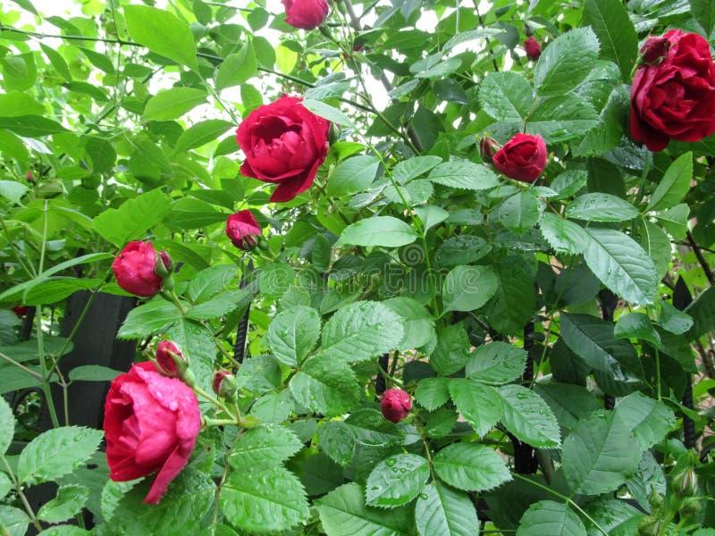 Le foglie della rosa rossa di varietà di Flammentanz sta riguardando le gocce di rugiada dopo la pioggia fotografia stock libera da diritti