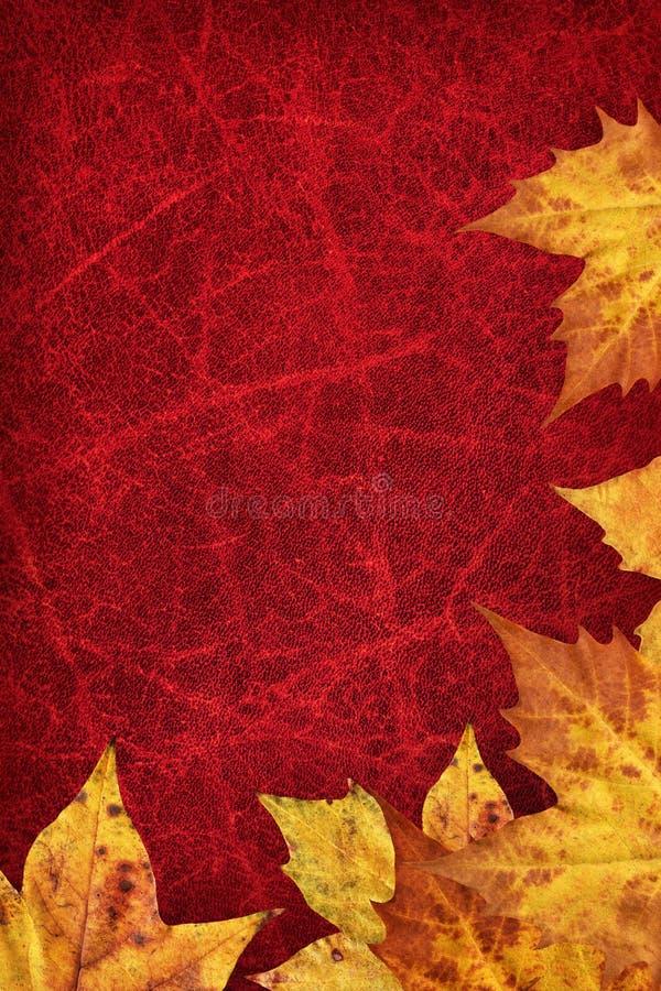 Le foglie di acero asciutte rasentano il fondo avvizzito rosso scuro della pelle bovina immagini stock