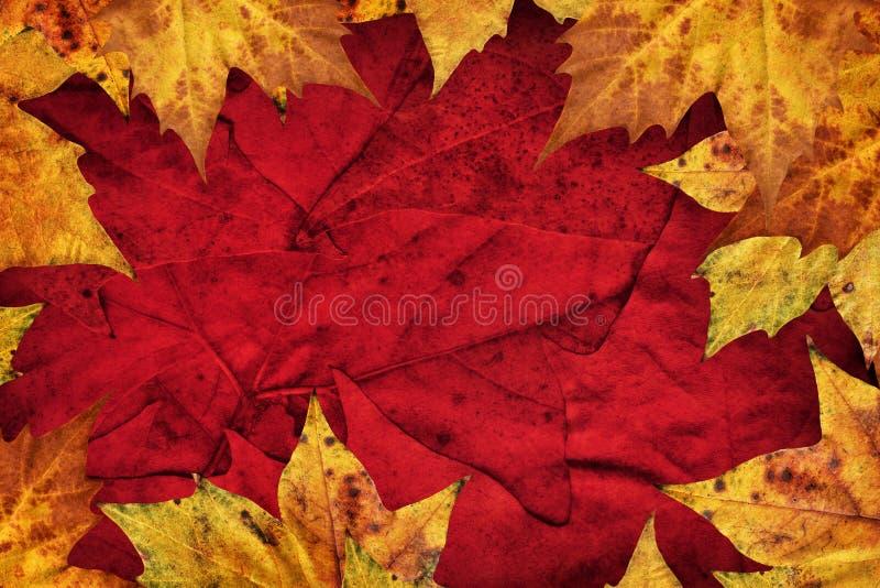 Le foglie di acero asciutte rasentano il fondo rosso scuro fotografie stock libere da diritti