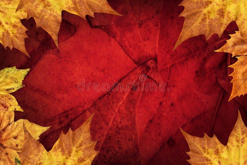 Le foglie di acero asciutte rasentano il fondo rosso scuro immagini stock