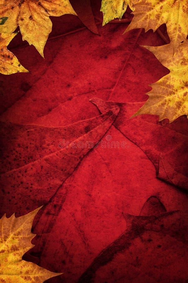 Le foglie di acero asciutte rasentano il fondo rosso scuro immagine stock libera da diritti