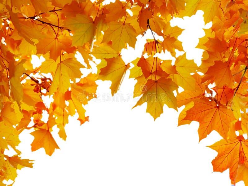 Le foglie di acero di autunno hanno modellato l'arco, isolato su fondo bianco fotografia stock libera da diritti