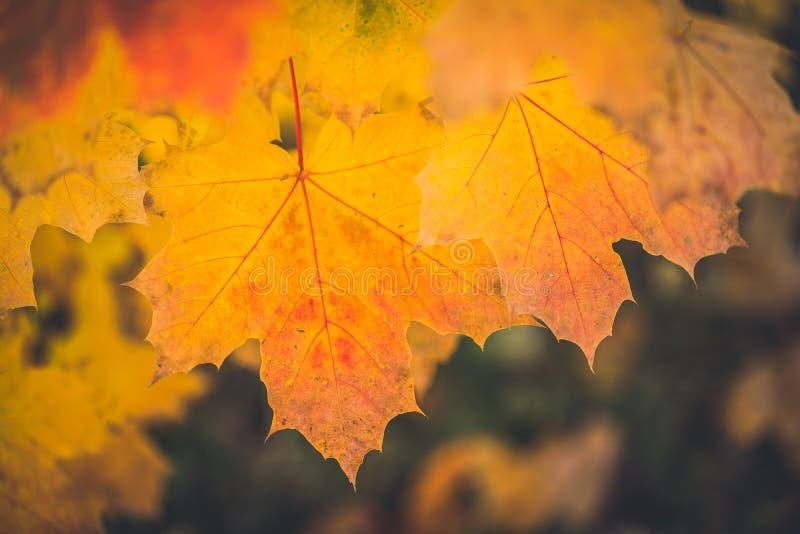 Le foglie di acero gialle asciutte di autunno si chiudono su con fondo scuro vago fotografia stock