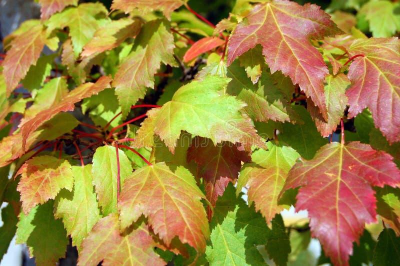 Le foglie di acero miste caduta colora la priorità bassa immagine stock libera da diritti
