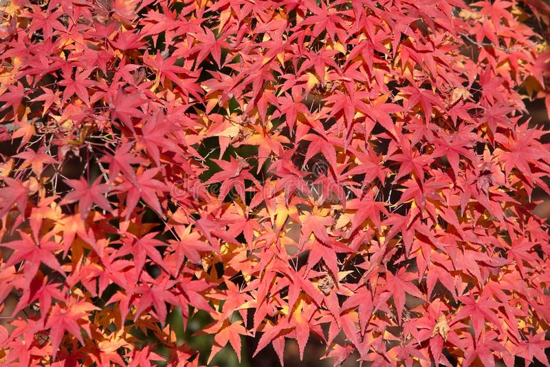 Le foglie di acero rosso durante l'autunno condiscono, il Giappone fotografia stock libera da diritti