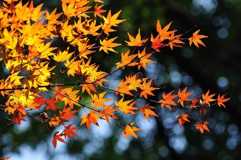 Le foglie di acero si chiudono immagine stock