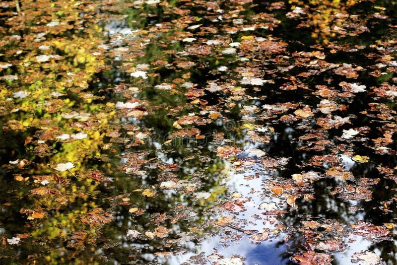 Le foglie di autunno con gli alberi e la riflessione del fogliame sopra il lago della montagna innaffiano fotografia stock