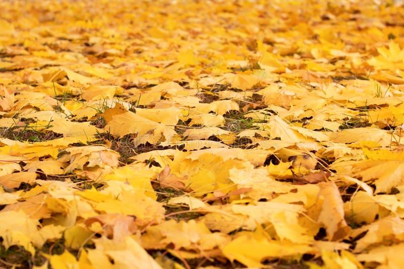Le foglie di autunno gialle cadute dagli alberi si trovano sulla terra immagini stock