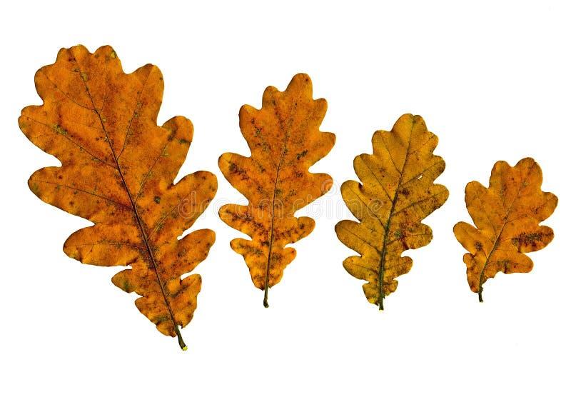 Le foglie di giallo di autunno di una quercia sono posizionate su un fondo bianco immagine stock libera da diritti