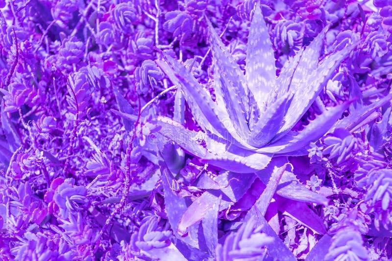 Le foglie di palma esotiche della pianta si chiudono su nel tono blu porpora di pendenza di duo nei colori d'avanguardia vibranti fotografie stock