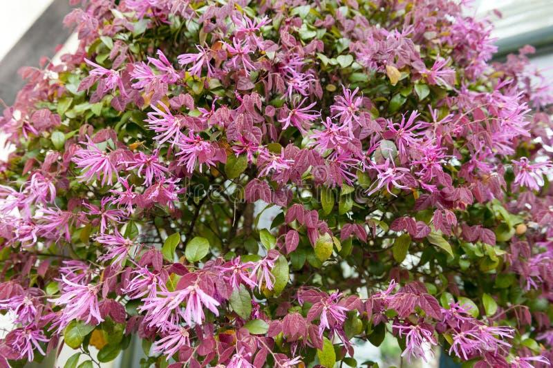 Pianta fiori rosa giapponese: potare il nespolo del giappone