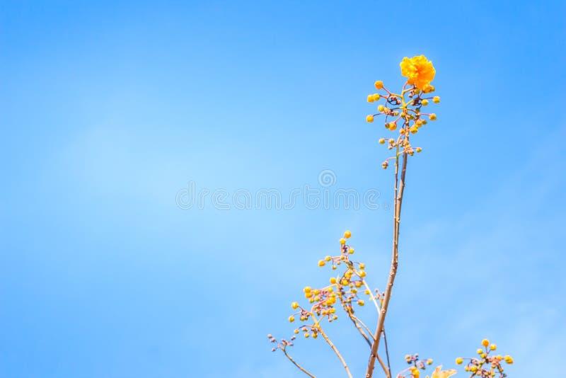 Le foglie di rosso ed il giovane germoglio giallo della fromager fioriscono (religiosum di Cochlospermum) con il fondo del cielo  fotografie stock