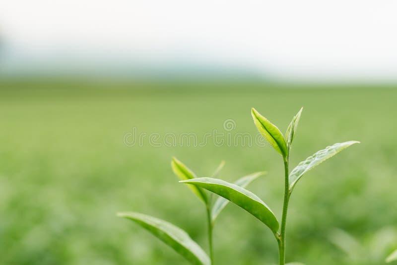 Le foglie di tè si sviluppano in mezzo alla piantagione di tè i nuovi tiri sono tiri molli L'acqua è un alimento e una bevanda sa fotografia stock libera da diritti