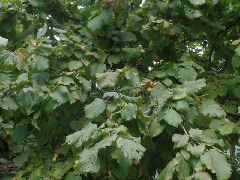 Le foglie di un albero di nocciola fotografie stock