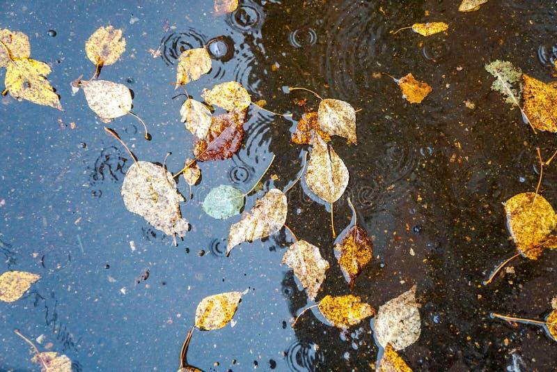 Le foglie gialle di autunno nell'acqua, in una pozza, pioggia, spruzza e circonda sull'acqua fotografie stock