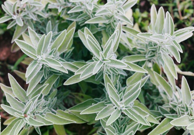 Le foglie grigio verdi di salvia, salvia officinalis fotografia stock libera da diritti