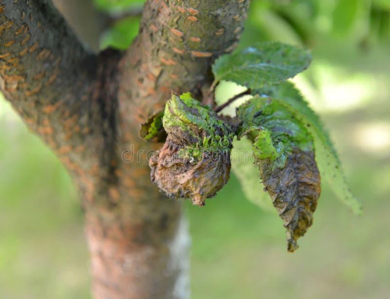 Le foglie inaridite della ciliegia, nocive da un pidocchio di pianta immagine stock libera da diritti