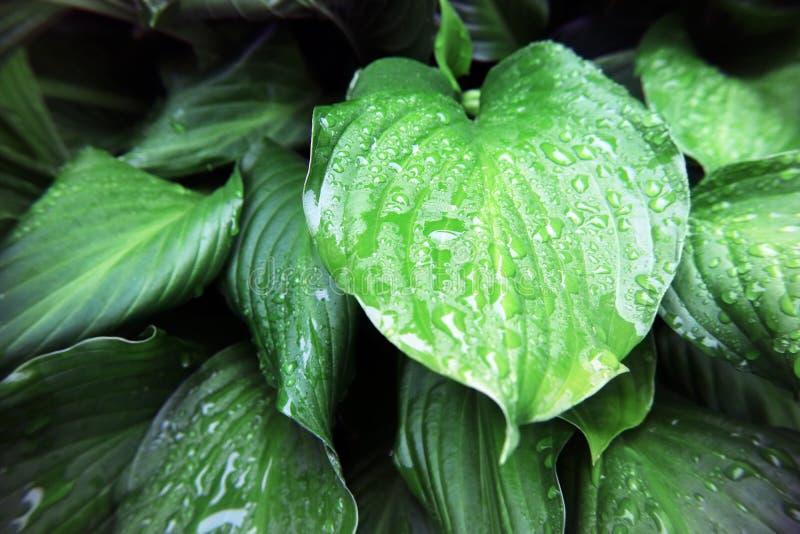 Le foglie sono grandi e verdi nella foresta con la macro foto delle gocce di pioggia come i precedenti immagini stock libere da diritti