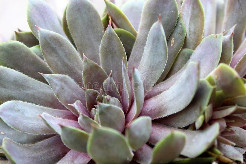 Le foglie spesse su una pianta succulente sana in zen fanno il giardinaggio fotografia stock
