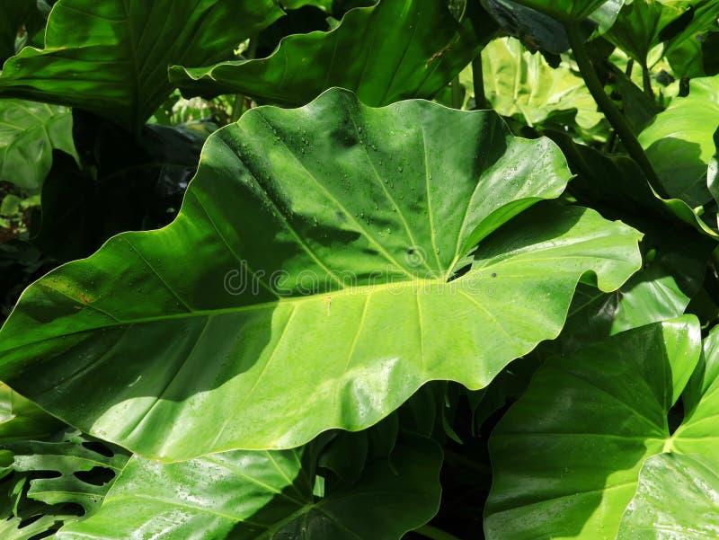 Le foglie tropicali verdi fertili del Philodendron si chiudono su fotografia stock libera da diritti
