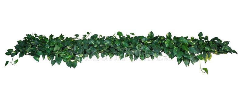 Le foglie variegate gialle verdi in forma di cuore dell'edera del ` s del diavolo o vanno fotografie stock