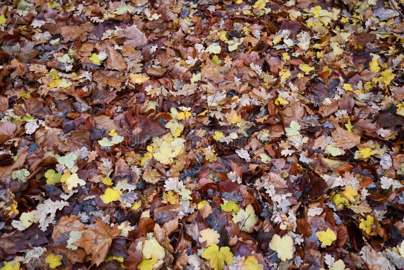 Le foglie variopinte di caduta stanno riguardando il terreno dopo la pioggia immagine stock