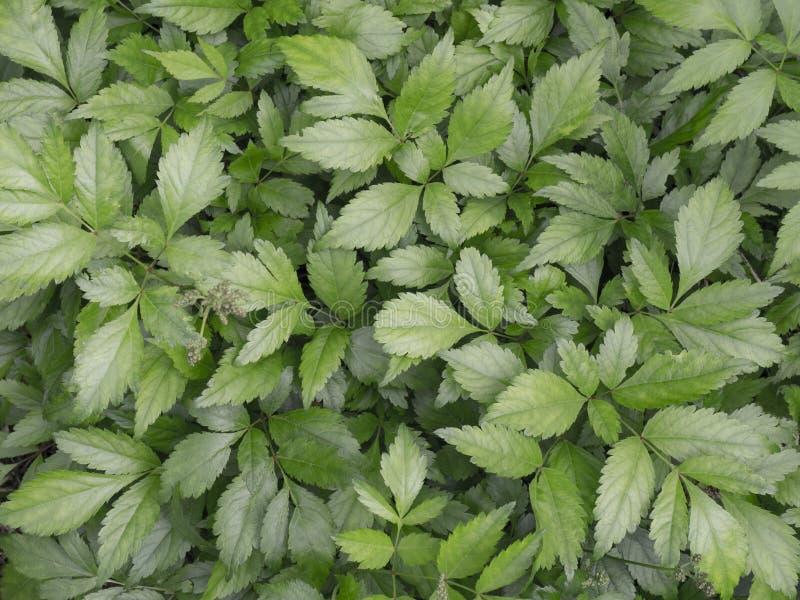 Le foglie verde scuro di Matt delle piante riguardano l'intera immagine Priorità bassa di erbe immagini stock