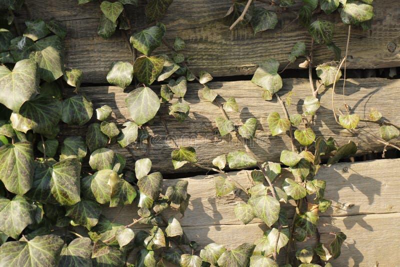 Le foglie verdi dell'edera coprono la parete di legno, fondo immagine stock