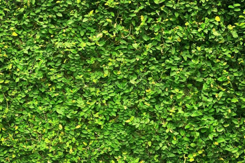 Le foglie verdi dell'edera hanno trattato la parete fondo del recinto naturale dell'albero fotografie stock libere da diritti