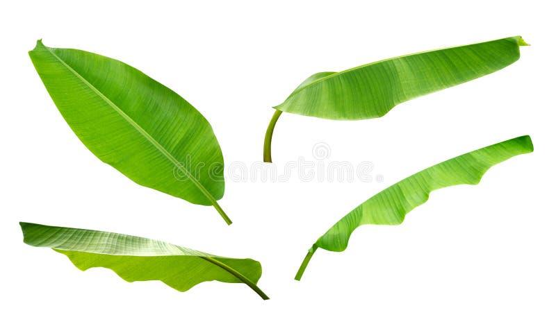 Le foglie verdi della banana della pianta tropicale hanno messo isolato su fondo bianco, percorso immagini stock libere da diritti