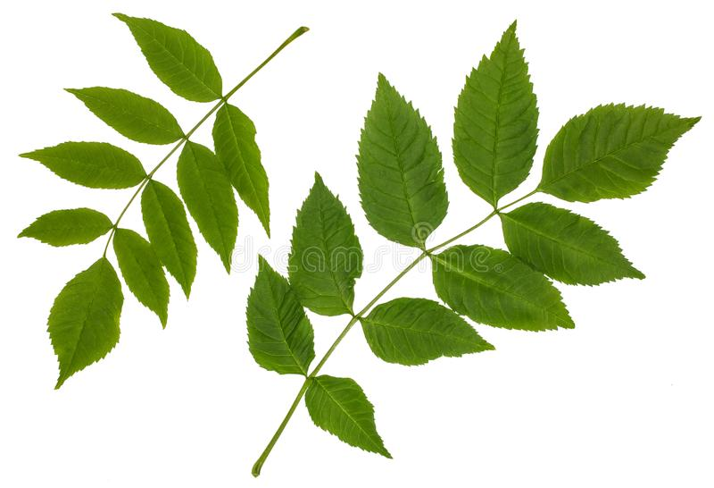Le foglie verdi della cenere, frassino maggiore, foglia pennata del omplex del ½ del ¿ del ï fotografie stock libere da diritti