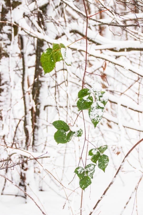 Le foglie verdi della pianta continuano ad essere fresche e luminose su una mattina fredda dell'inverno fotografia stock libera da diritti