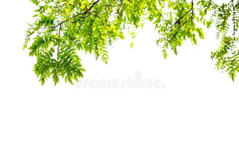 Le foglie verdi ed i rami isolano su fondo bianco per la natura astratta dell'ambiente di struttura immagine stock libera da diritti