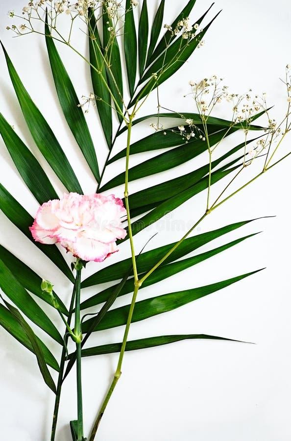 Le foglie verdi ed il garofano fioriscono con i bordi rosa su bianco fotografie stock libere da diritti