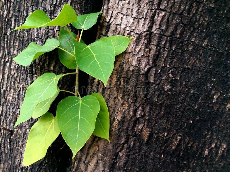 Le foglie verdi fresche germinano in mezzo all'albero fotografia stock