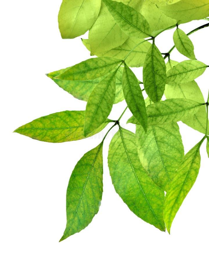 Le foglie verdi fresche rasentano il fondo bianco Isolato senza fotografia stock