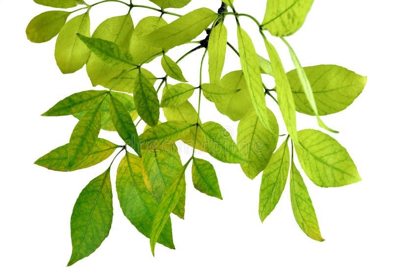 Le foglie verdi fresche rasentano il fondo bianco isolato senza ombra fotografia stock libera da diritti