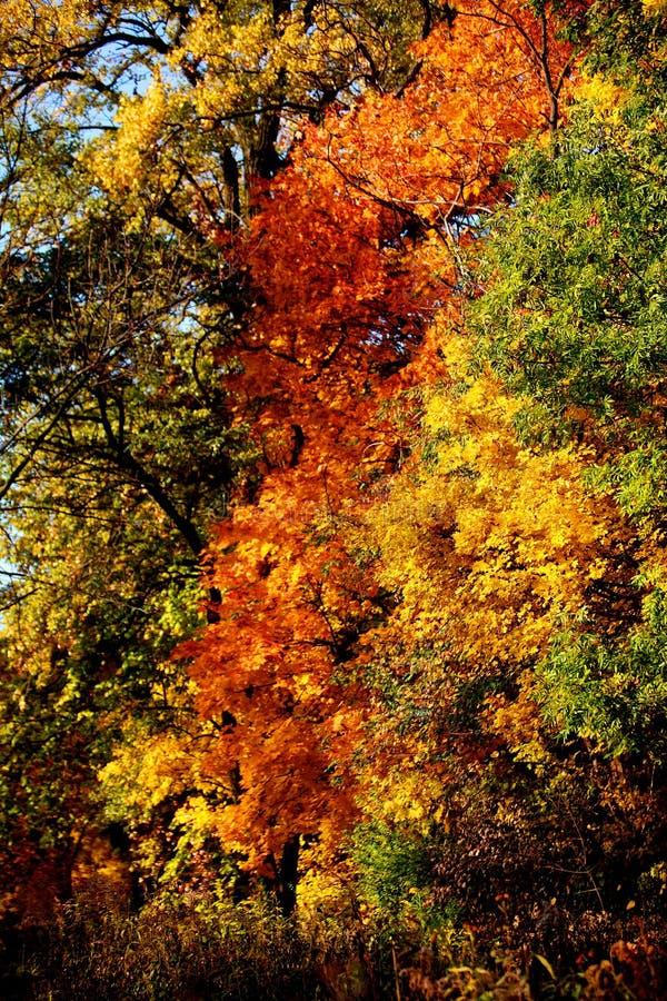Le foglie verdi giallastre rosse della quercia riguardano i rami di albero fotografia stock libera da diritti
