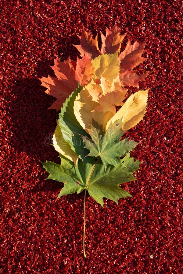 Le foglie verdi, gialle e rosse sono una pendenza su un fondo rosso I colori e l'umore dell'autunno fotografia stock libera da diritti