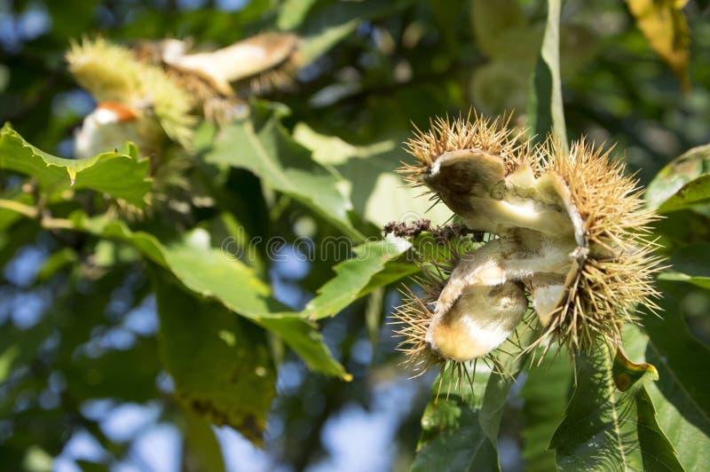 Le foglie verdi sativa del Castanea e svuotano le bucce, raccolto di autunno immagini stock