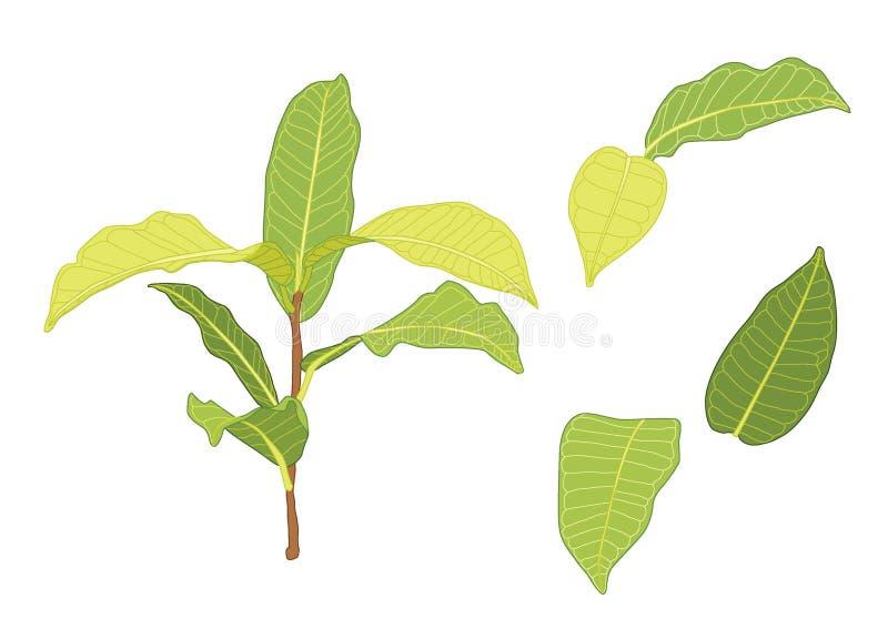Le foglie verdi sono un mazzo fresco illustrazione di stock