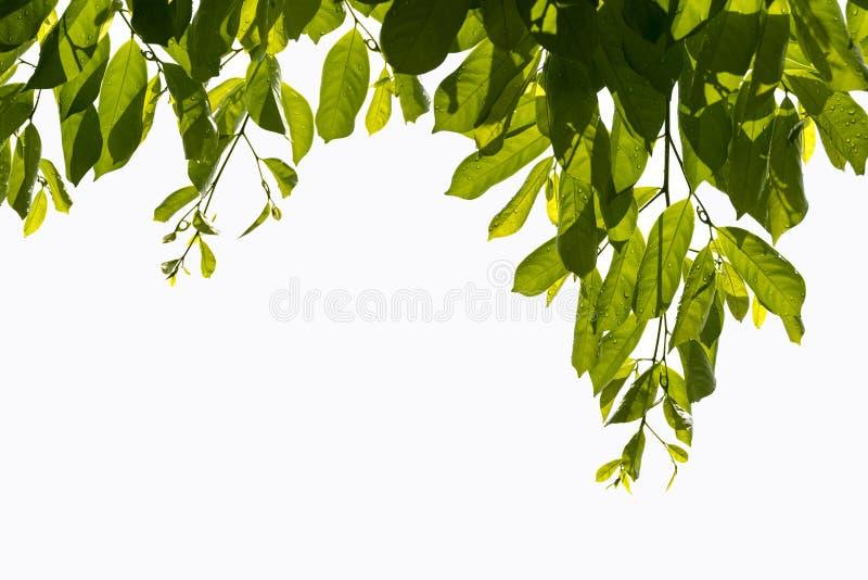 Le foglie verdi su fondo bianco nella stagione primaverile al parco naturale hanno variopinto dell'albero fotografia stock libera da diritti