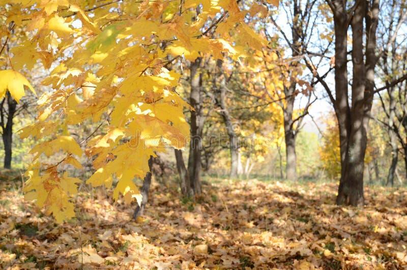 Le fond abstrait avec l'érable jaune part dans la forêt d'automne dans le sauvage image libre de droits