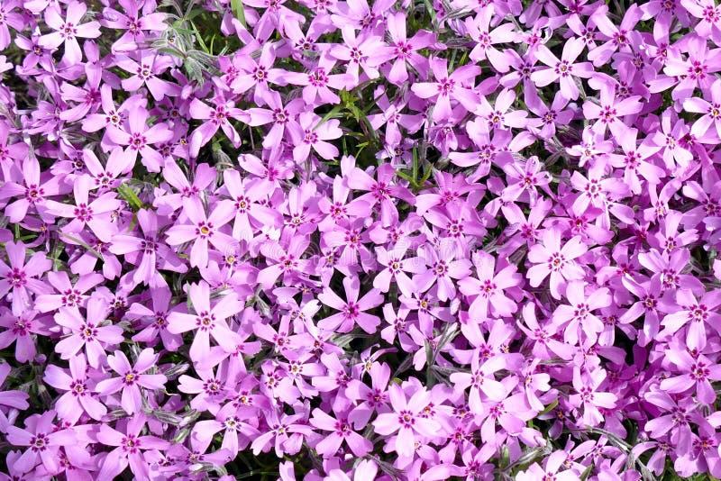 Le fond avec le nombreux petit subulata rose de phlox fleurit 01 photos stock