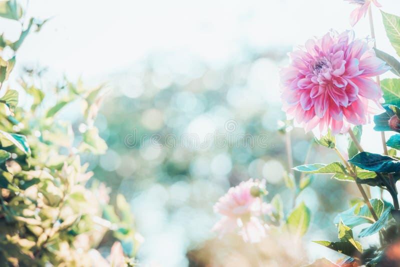 Le fond de jardin d'été avec le beau dahlia rose fleurit photos libres de droits